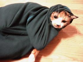 やっと服の中から顔だけ出せた雑種猫くるみ