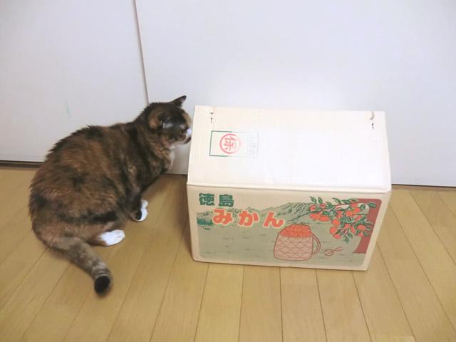 ミカン箱を見つけた 雑種猫くるみ