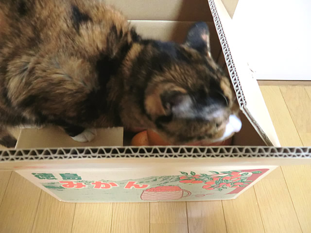 箱の中蓋を広げる くるみ