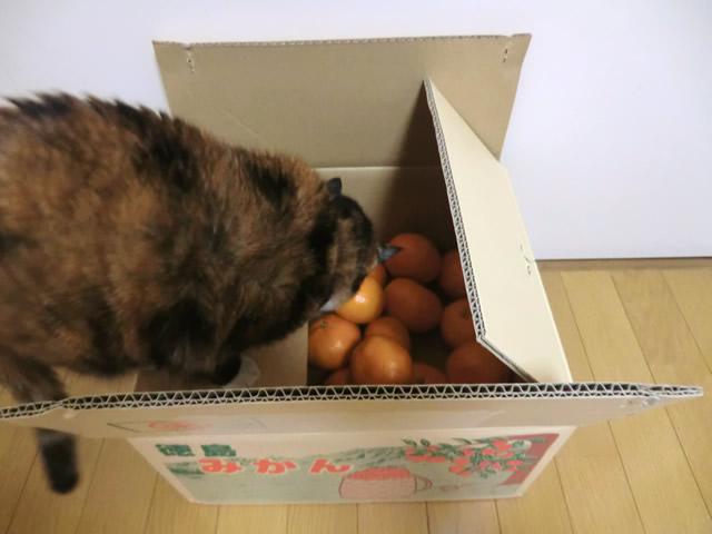 箱の中のミカンを覗く くるみ