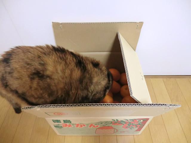 箱の中のミカンに顔を近づける くるみ