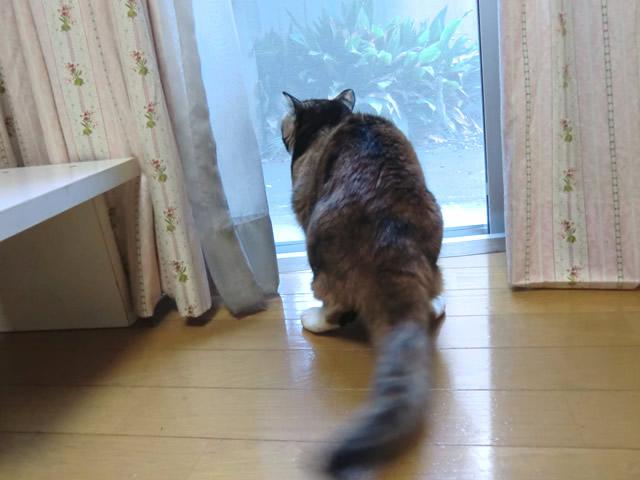 窓の外を見る 雑種猫 くるみ