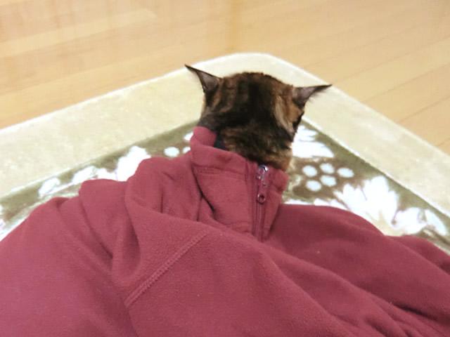 上着の首元から外に出ようとする 三毛猫 くるみ