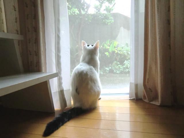 雨の外を見る 白猫 こむぎ