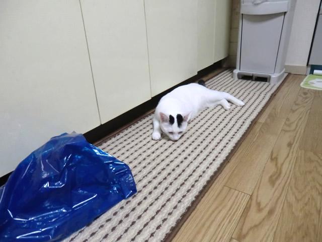 キッチンマットの上で横になる 白猫 こむぎ