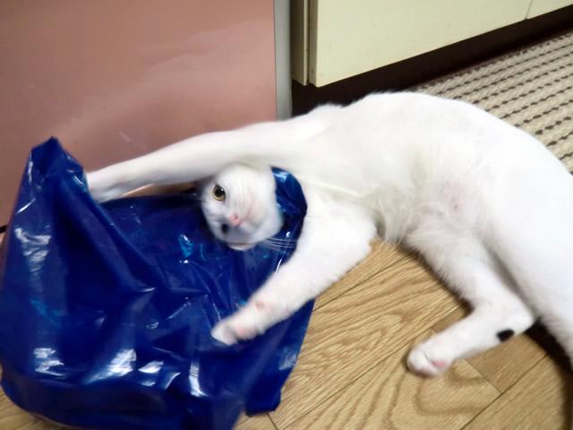 手を使って袋から顔を抜こうとする 雑種猫 こむぎ