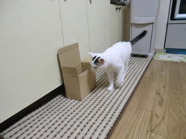 ダンボールを見る 白猫 こむぎ