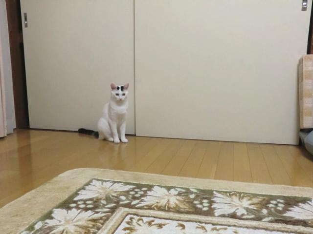 ボーとしている 白猫 こむぎ