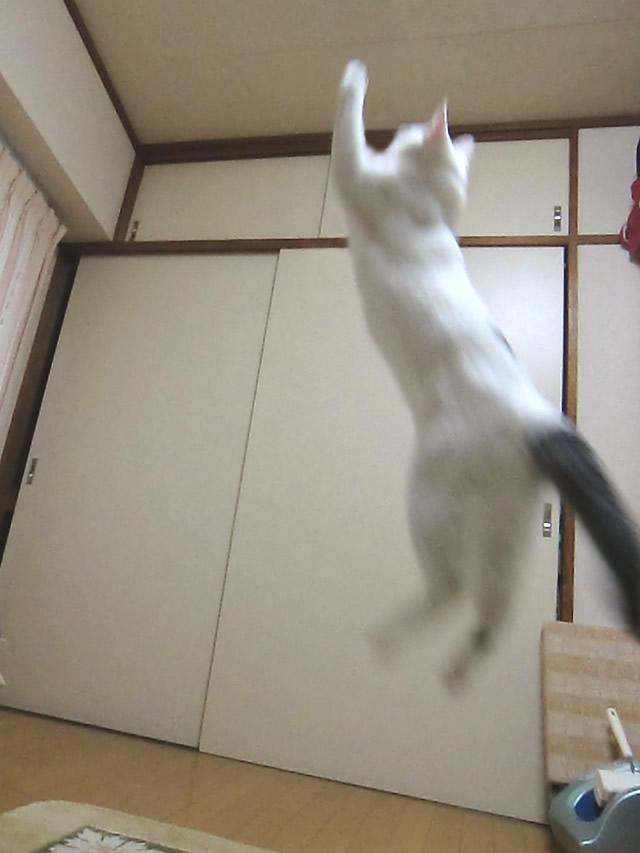 ジャンプした 雑種猫 こむぎ