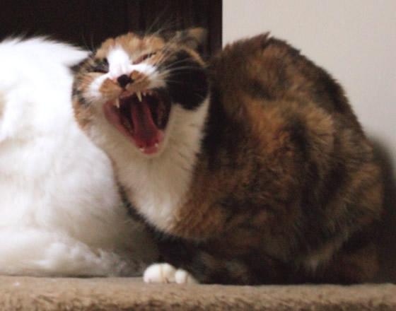 大あくびする雑種猫