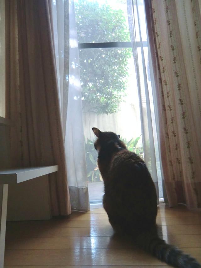 窓から外を眺める 雑種猫くるみ