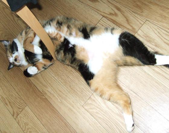 股を広げて寝る雑種猫