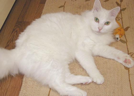 雑種猫 ピノ