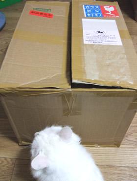 箱の中の音に耳を澄ます雑種猫ピノ