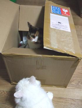 箱の中から顔を出す雑種猫くるみ