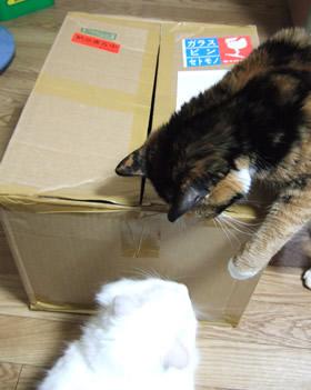 箱の周りで話をする雑種猫ピノ&くるみ