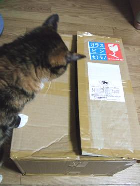 箱を見つめる雑種猫くるみ