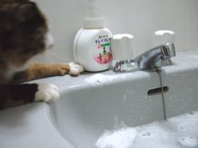 手を洗う雑種猫くるみ