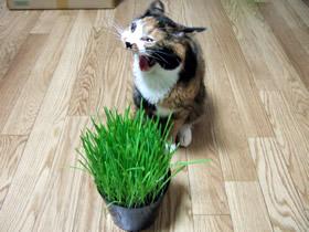 あくびする雑種猫くるみ