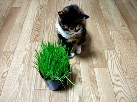 猫草を見つけた雑種猫くるみ