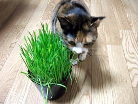 猫草を食べる雑種猫くるみ