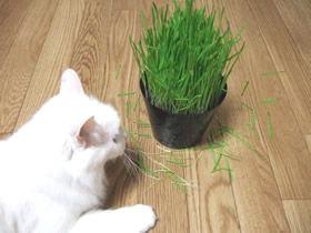 ちらかした猫草をみて怒る雑種猫ピノ