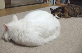 毛の長い雑種猫ピノを見る雑種猫くるみ