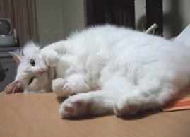 顔もお腹も毛の長い雑種猫ピノ