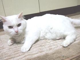いつの間にか毛が短くなった雑種猫ピノ