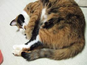 鼻が熱くておさえる雑種猫くるみ