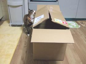 段ボール箱を見る雑種猫くるみ