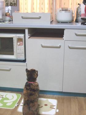 キッチン棚の引き出しのすき間を見る雑種猫くるみ