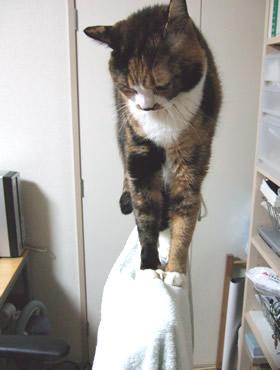 イスの背もたれの上で休む雑種猫くるみ
