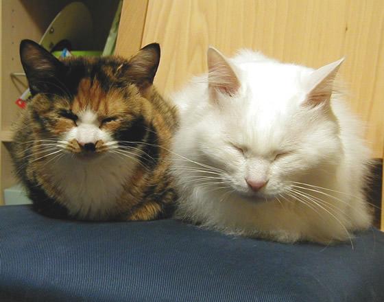 2匹の雑種猫の昼寝